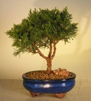 Shimpaku Bonsai Tree For Sale - Medium (shimpaku itoigawa)