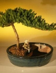 Juniper Bonsai Tree For Sale/Water Bonsai Pot - Medium (juniper procumbens nana)