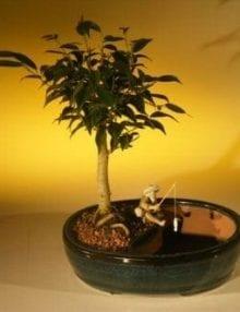 Ficus Oriental Bonsai Tree For Sale/Water Bonsai Pot (ficus 'orientalis')
