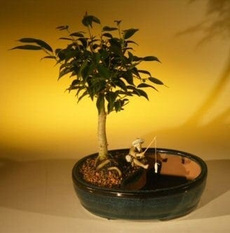 Ficus Oriental Bonsai Tree For Sale/Water Bonsai Pot (ficus 'orientalis')