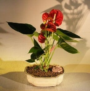 Flowering Red Anthurium(small talk) Bonsai Tree For Sale (anthurium andraeanum)