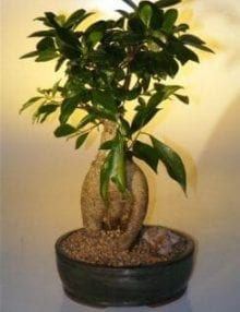Ginseng Ficus Bonsai Tree For Sale - Large (Ficus Retusa)