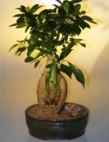 Ginseng Ficus Bonsai Tree For Sale - Large (Ficus Retusa)
