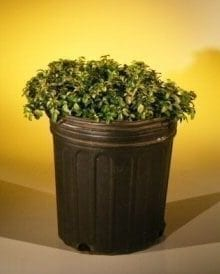 Pre Bonsai Japanese Kingsville Boxwood Bonsai Tree For Sale (buxus microphylla 'compacta')