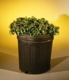 Pre Bonsai Japanese Kingsville Boxwood Bonsai Tree For Sale (buxus microphylla 'compacta')