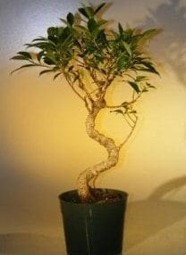 Pre Bonsai Ficus Retusa Bonsai Tree For Sale- Large Curved Trunk Style