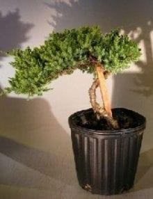 Pre Bonsai Juniper Bonsai Tree For Sale - Staked (Juniper Procumbens nana)