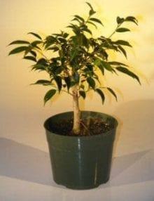 Pre Bonsai Ficus Midnight Bonsai Tree For Sale - Large (benjamina 'midnight')
