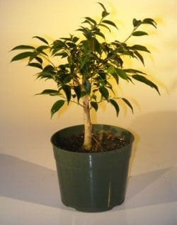 Pre Bonsai Ficus Midnight Bonsai Tree For Sale - Large (benjamina 'midnight')
