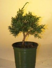 Pre Bonsai Shimpaku Bonsai Tree For Sale - Small (shimpaku itoigawa)