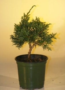 Pre Bonsai Shimpaku Bonsai Tree For Sale - Small (shimpaku itoigawa)