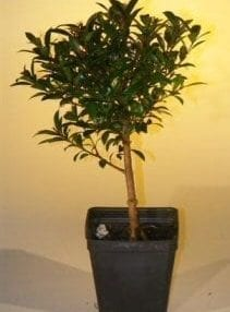 Pre Bonsai Flowering Brush Cherry Bonsai Tree For Sale - Small (eugenia myrtifolia)