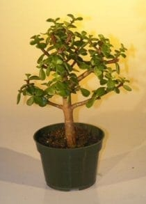 Pre Bonsai Baby Jade Bonsai Tree For Sale - Medium (Portulacaria Afra)