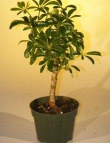 Pre Bonsai Hawaiian Umbrella Bonsai Tree For Sale - Small (arboricola schefflera 'luseanne')