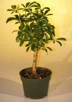 Pre Bonsai Hawaiian Umbrella Bonsai Tree For Sale - Small (arboricola schefflera 'luseanne')