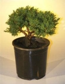 Pre Bonsai Shimpaku Bonsai Tree For Sale Bonsai Tree For Sale - Medium (shimpaku itoigawa)