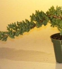Pre Bonsai Juniper Bonsai Tree For Sale - Small (Juniper Procumbens nana)