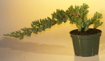 Pre Bonsai Juniper Bonsai Tree For Sale - Small (Juniper Procumbens nana)