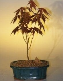 Japanese Red Maple Bonsai Tree For Sale - Small (acer palmatum 'atropurpurea')
