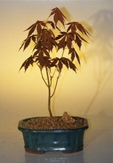 Japanese Red Maple Bonsai Tree For Sale Small Acer Palmatum Atropurpurea Bonsai Tree Gardener