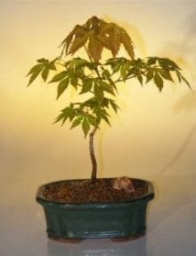Japanese Green Maple Bonsai Tree For Sale - Small (acer palmatum)