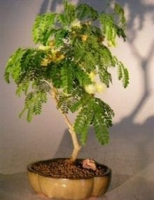 Flowering Brazilian Raintree Bonsai Tree For Sale - Medium (pithecellobium tortum)