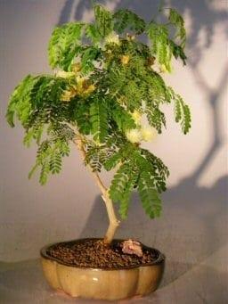 Flowering Brazilian Raintree Bonsai Tree For Sale - Medium (pithecellobium tortum)