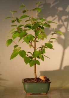 River Birch Bonsai Tree For Sale (betula nigra)