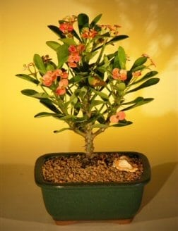 Flowering Crown of Thorns Bonsai Tree For Sale - Red / Salmon (euphorbia milii)