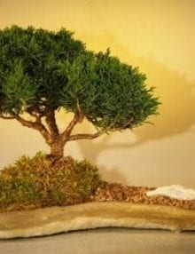 Shimpaku Juniper Bonsai Tree For Sale Planted on a Rock Slab (juniperus chinensis)