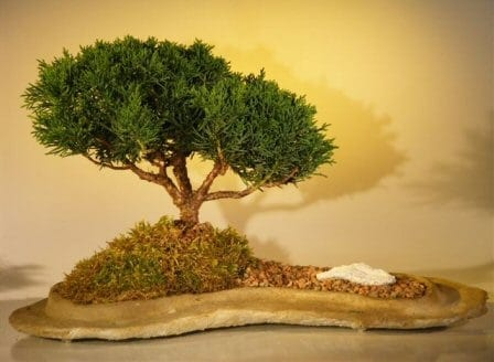 Shimpaku Juniper Bonsai Tree For Sale Planted On A Rock Slab Juniperus Chinensis Bonsai Tree Gardener