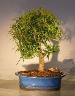 Willow Leaf Ficus Bonsai Tree For Sale - Large (ficus nerifolia/salicafolia)