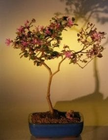 Flowering Chinese Fringe Bonsai Tree For Sale #1 (loropetalum chinensis)