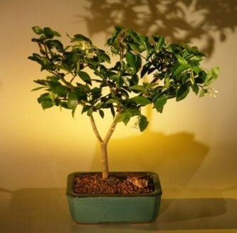 Flowering Water Jasmine Bonsai Tree For Sale - Medium (wrightia religiosa)