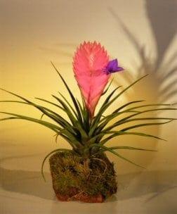 Pink Quill Bromeliad Bonsai Tree For Sale in Lava Rock (tillandsia cyanea)