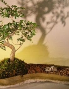 Chinese Elm Bonsai Tree For Sale On Rock Slab (ulmus parvifolia)