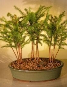 Norfolk Island Pine Bonsai Tree For Sale Three (3) Tree Forest Group (araucaria heterophila)