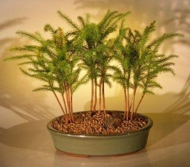 Norfolk Island Pine Bonsai Tree For Sale Three (3) Tree Forest Group (araucaria heterophila)