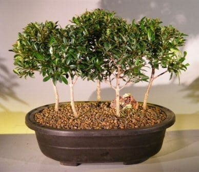 Flowering Brush Cherry Bonsai Tree For Sale Five Tree Forest Group (eugenia myrtifolia)