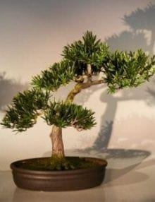 Artificial Podocarpus Bonsai Tree For Sale