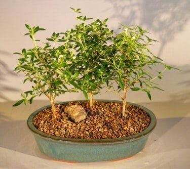 Flowering White Serissa Bonsai Tree For Sale Bonsai Tree For Sale of a Thousand Stars Three Tree Forest Group (serissa japonica)