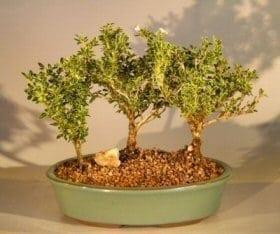 Flowering Mount Fuji Serissa Bonsai Tree For Sale Three Tree Forest Group (serissa foetida)