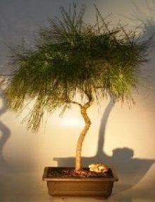 Japanese Black Pine Bonsai Tree For Sale - Coiled Trunk (pinus thunbergii)