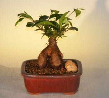 Ginseng Ficus Bonsai Tree For Sale - Small (Ficus Retusa)
