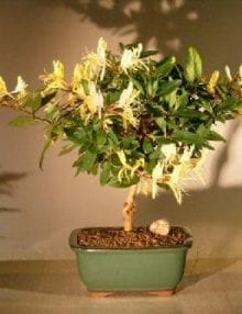 Flowering Japanese Honeysuckle Bonsai Tree For Sale (lonicera japonica 'halliana')