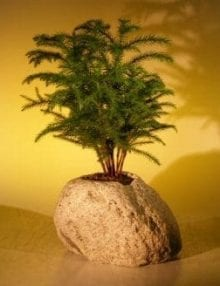 Norfolk Island Pine Bonsai Tree For Sale Forest Group In Lava Rock (araucaria heterophila)