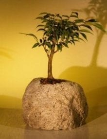 Oriental Ficus Bonsai Tree For Sale In Lava Rock (ficus benjamina 'orientalis')