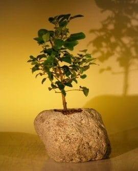 Flowering Ligustrum Bonsai Tree For Sale In Lava Rock (ligustrum lucidum)