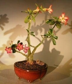 Flowering Desert Rose Bonsai Tree For Sale - Large (Adenium Obesum)