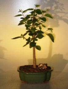Paper Birch Bonsai Tree For Sale (betula papyrifera)